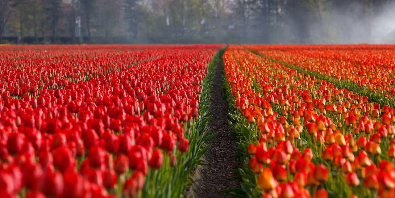Cebulki kwiatowe: jak je właściwie sadzić i pielęgnować?